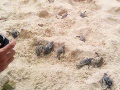 sc-tortugas